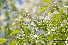 Free Inflorescence Of Bird Cherry Tree Royalty Free Stock Image - 5055806