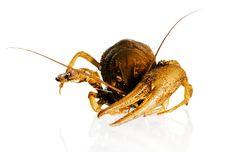 Free Crayfish Stock Photo - 5056060