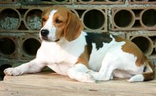 Free Dog Beagle Royalty Free Stock Photos - 5056658