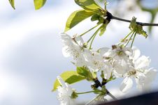 Free Tree Branch With Cherry Flowers Stock Photos - 5056853