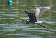 Free Heron Royalty Free Stock Photography - 5057597