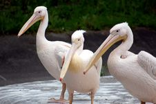 Free Pelicans Royalty Free Stock Photo - 5057775