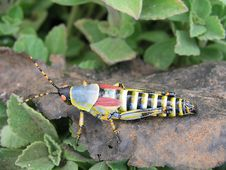 Free Grasshopper Royalty Free Stock Photo - 5057815