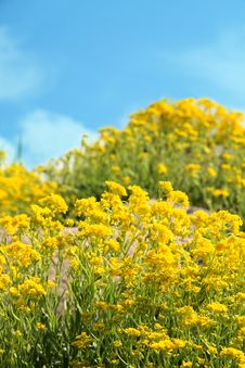 Free Yellow Flowers On Spring Field Stock Photo - 5058170