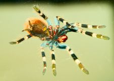 Tarantula Spider Bottom View Royalty Free Stock Images