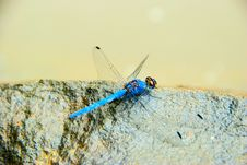 Free Blue Dragon Fly On Rock Royalty Free Stock Images - 5058329