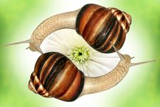 Free Two Grape Snails Royalty Free Stock Image - 5058356