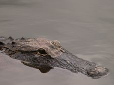 Free Alligator Swimming Stock Photo - 5058410