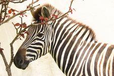 Free Zebra & Bougainvillea Royalty Free Stock Photos - 5058528