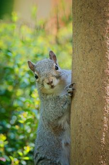 Free Curious Squirrel Stock Images - 5058844