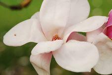 Free Tulip Magnolia Blossom Royalty Free Stock Photo - 5059065
