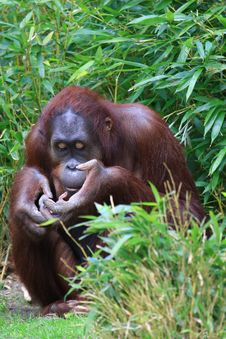 Free Orangutan Royalty Free Stock Images - 5059159