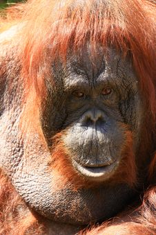 Free Orangutan Royalty Free Stock Images - 5059209