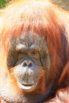 Free Orangutan Royalty Free Stock Photos - 5059278