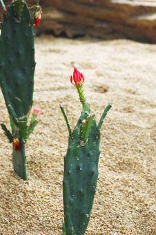 Free Cactus Stock Image - 5059561