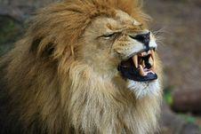 Free Lion Royalty Free Stock Photos - 5059818
