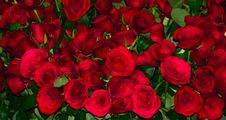Free Natural Lovely Red Roses Stock Images - 50529274