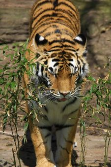 Free Tiger Royalty Free Stock Images - 5060369