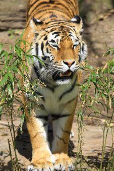 Free Tiger Stock Photo - 5060380