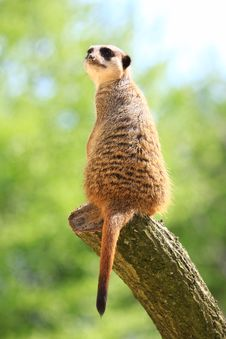 Free Meercat Royalty Free Stock Image - 5060536