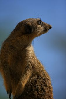 Free Meercat Royalty Free Stock Photography - 5060577