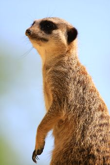 Free Meercat Stock Photos - 5060583