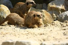 Free Meercat Royalty Free Stock Images - 5060589