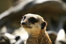 Free Meercat Stock Photos - 5060623