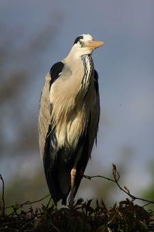 Free Grey-heron Stock Photography - 5060742