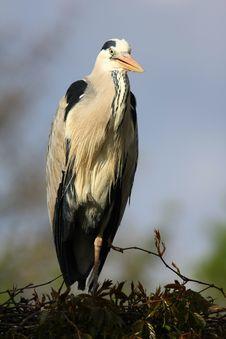 Free Grey-heron Royalty Free Stock Images - 5060749