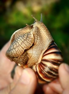 Free Two Grape Snails Stock Photography - 5061192