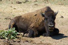 Free Buffalo Stock Photo - 5061560