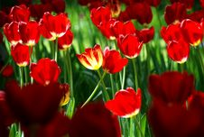 Free Tulip Light Stock Photo - 5061930
