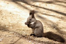 Free Squirrel Royalty Free Stock Images - 5062179