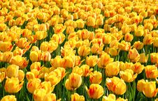 Colorful Tulips - Background Stock Photography