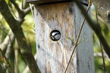 Blue Tit In Birdhouse Royalty Free Stock Image