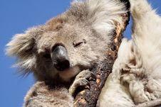Free Koala Stock Images - 5063404