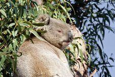 Free Koala Royalty Free Stock Image - 5063416