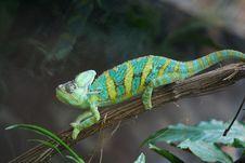 Free Chameleon Stock Images - 5063874