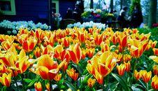 Free Orange With Yellow Tulips Stock Photography - 5063912