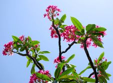 Free Tropical Plumeria Tree Stock Images - 5064314