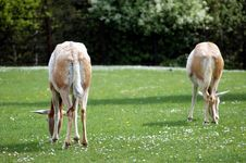 Free Two Antelopes Royalty Free Stock Photo - 5064365