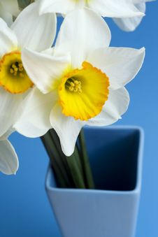 Free Narcissus. Royalty Free Stock Photos - 5064418