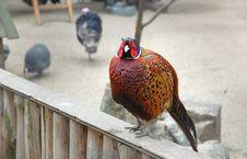 Free Pheasant Royalty Free Stock Photos - 5064908
