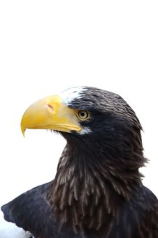 Free White Shoulder Eagle Royalty Free Stock Photo - 5064915