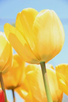 Free Yellow Tulips Royalty Free Stock Images - 5065069