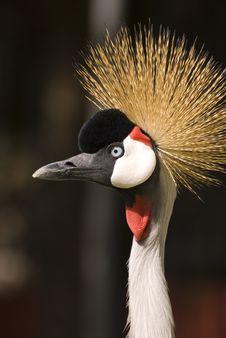 Free Grey Crowned Crane (Close-up) Stock Photo - 5065090