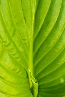 Free Green Leaf Of Lily Is A Background Stock Photo - 5065340
