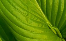 Free Green Leaf Royalty Free Stock Photography - 5065477