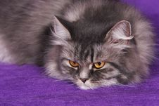 Gray Persian Cat Royalty Free Stock Photography